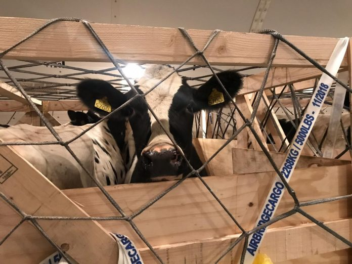 AirBridgeCargo Transports Cattle from USA to Thailand